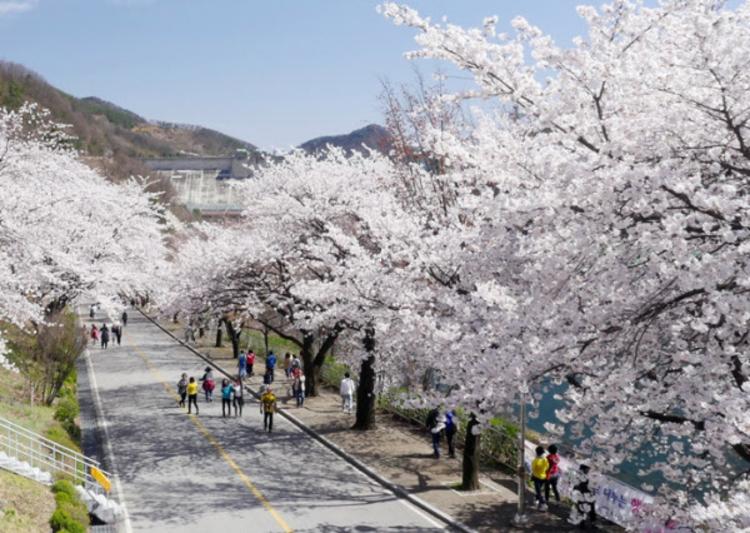 충주시, 벚꽃길·야영장 9곳 이용 제한 '긴급 행정명령'